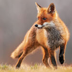 real fox in the wild - getting inspired by nature to design logos