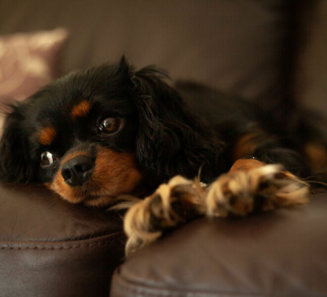 2020.08.30 Photography of a Cavalier King Charles