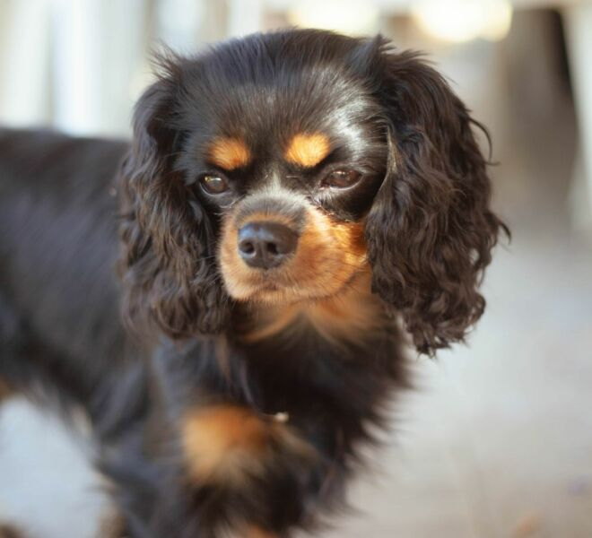 2020.08.30 Cavalier King Charles models for Desuals